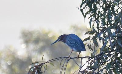 Green Heron  - 4/23/2019 - Poway Pond