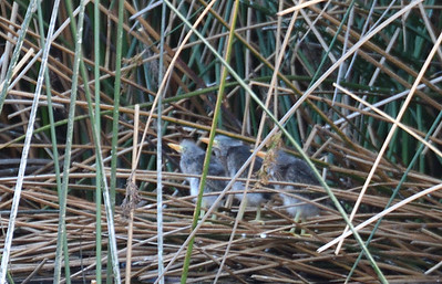 Green Heron Nestlings  - 4/23/2019 - Poway Pond
