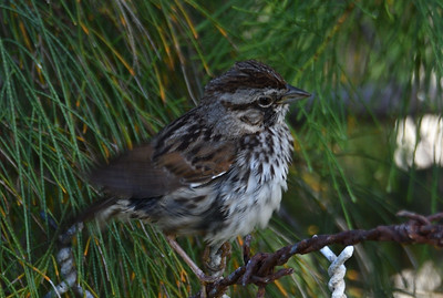 Song Sparrow  - 4/24/2019 - Poway Pond
