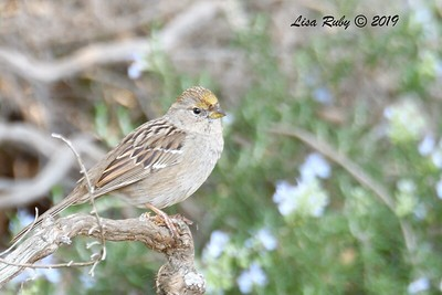 Golden-crowned Sparrow - 1/27/2019 - Dos Picos Park
