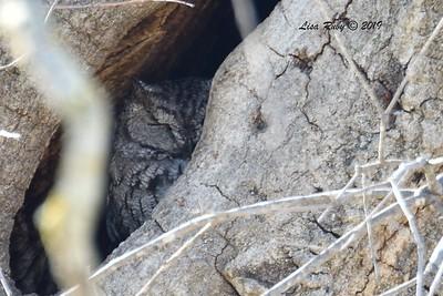 Western Screech Owl - 1/27/2019 - Ramona Grasslands