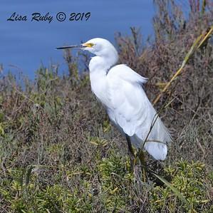 Snowy Egret  - 10/4/2019 - Robb Field Dog Park area