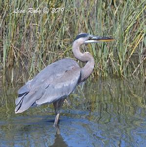 Great Blue Heron  - 10/4/2019 - Robb Field Dog Park area
