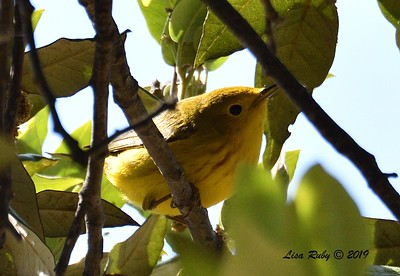 Yellow Warbler  - 5/24/2019 - Robb Field