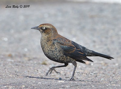 Rusty Blackbird  - 12/6/2019 - Robb Field