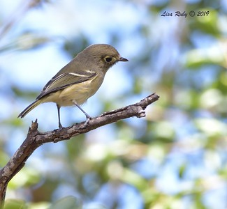 Hutton's Vireo  -  9/29/2019 - Sabre Springs Creek trail