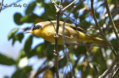 Common Yellowthroat, Immature Male  -  9/29/2019 - Sabre Springs Creek trail
