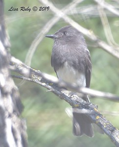 Black Phoebe  -  9/29/2019 - Sabre Springs Creek trail
