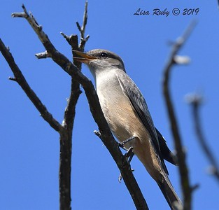 Say's Phoebe  - 10/6/2019 - Sabre Springs Creek trail