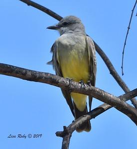 Cassin's Kingbird  - 10/6/2019 - Sabre Springs Creek trail