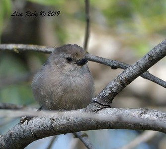 Bushtit - 6/28/2019 - Sabre Springs Creek area