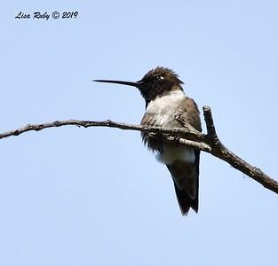 Black-chinned Hummingbird - 6/28/2019 - Sabre Springs Creek area