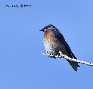 Western Bluebird - 6/28/2019 - Sabre Springs near South Creek Park