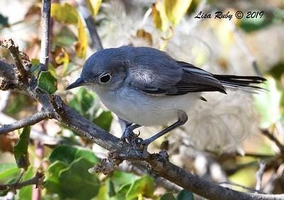 Blue-gray Gnatcatcher - 6/28/2019 - Sabre Springs Creek area