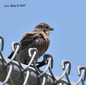 Juvenile Western Bluebird - 6/15/2019 - Creekside Elementary School Sabre Springs