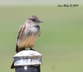 Say's Phoebe - -  6/9/2019 - South Creek Park Sabre Springs