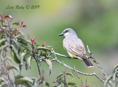 Cassin's Kingbird - 4/11/2019 - Sabre Springs Hill