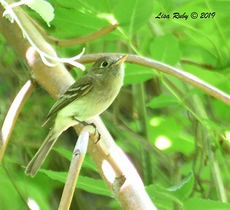 Pacific Slope Flycatcher - 6/15/2019-  Sabre Springs Creek