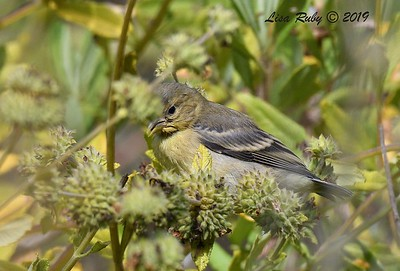 Juvenile Lesser Goldfinch - 6/23/2019 - Sabre Springs by the creek
