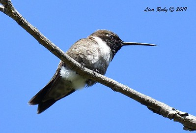 Black-chinned Hummingbird - 6/23/2019 - Sabre Springs by the creek