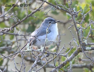 Blue-gray Gnatcatcher - 6/23/2019 - Sabre Springs by the creek