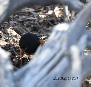 Spotted Towhee  - 02/27/2019 - Split Rock Trail, Joshua Tree Natl Park