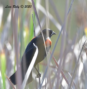 Red-winged Blackbird  - 05/03/2020 - Poway Pond, Old Pomerado Road