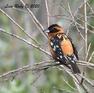 Black-headed Grosbeak  - 05/03/2020 - Poway Pond, Old Pomerado Road