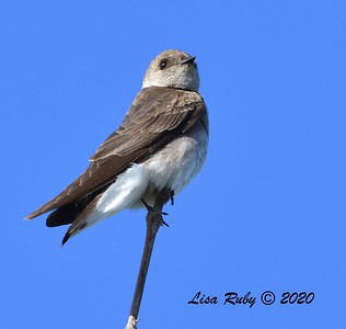 Northern Rough-winged Swallow  - 04/22/2020 - Sabre Springs Creek