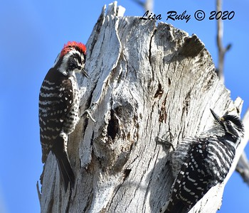 Nuttall's Woodpecker(s)  - 2/23/2020 - N. Clairemont Rec Center