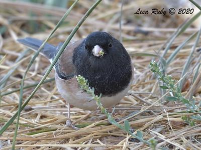 Dark-eyed Junco (Oregon)  - 10/23/2020 - Mount Laguna West Meadow +& 19 mile pullout