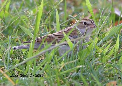 Chipping Sparrow - 10/6/2020 - Doyle Park
