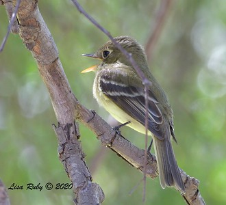 Pacific-slope Flycatcher  - 04/15/2020 - Creek and Beeler Canyon Roads
