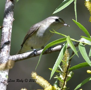 Warbling Vireo  - 04/22/2020 - Sabre Springs Creek
