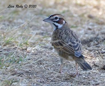 Lark Sparrow - 9/29/2020  - Poway Community Park