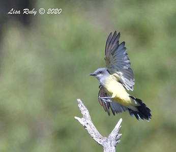 Cassin's Kingbird  - 09/19/2020 - Sabre Springs Creek