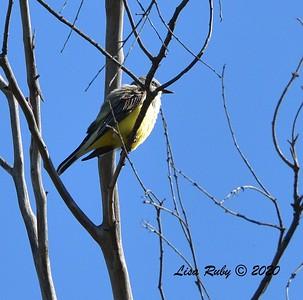 Western Kingbird  - 04/15/2020 - Creek and Beeler Canyon Roads