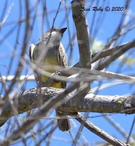 Cassin's Kingbird  - 04/15/2020 - Creek and Beeler Canyon Roads