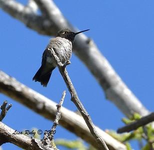 Black-chinned Hummingbird  - 4/3/2020 - Budwin Lane path in Poway