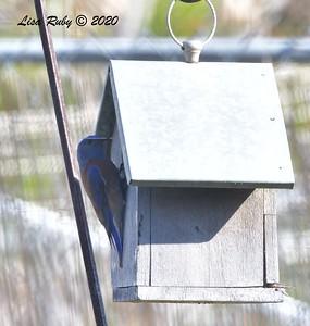 Western Bluebird working on nest  - 4/3/2020 - Budwin Lane path in Poway
