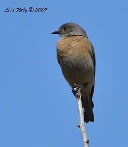 Female Western Bluebird  - 4/3/2020 - Budwin Lane path in Poway