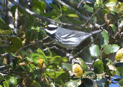 Black-throated Gray Warbler  - 4/3/2020 - Budwin Lane path in Poway