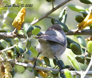 Bushtit from the back  - 4/3/2020 - Budwin Lane path in Poway