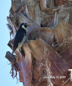Acorn Woodpecker  - 4/3/2020 - Budwin Lane path in Poway