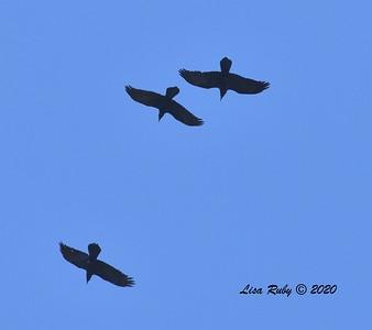 Common Ravens  - 4/3/2020 - Budwin Lane path in Poway