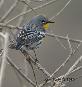 Yellow-rumped Warbler  - 12/27/2020 - Lake Hodges Bernardo Bay Trail
