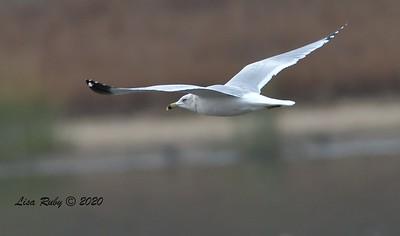Ring-billed Gull  - 12/27/2020 - Lake Hodges Bernardo Bay Trail