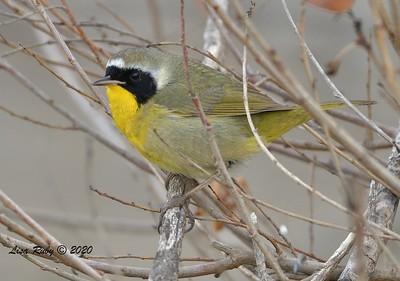 Common Yellowthroat  - 12/27/2020 - Lake Hodges Bernardo Bay Trail