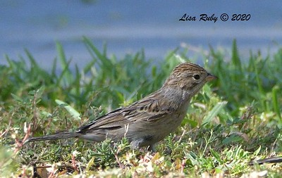 Unknown Sparrow (maybe Brewer's) - 9/30/2020 - Carmel Mtn. Ranch Community Park
