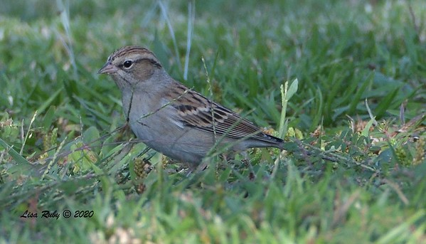 Chipping Sparrow - 9/30/2020 - Carmel Mtn. Ranch Community Park